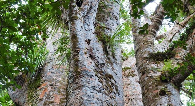 You can help fight Kauri Dieback